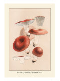 Russula Emetila Posters by William Hamilton Gibson