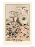 Russula Virescens Art by William Hamilton Gibson