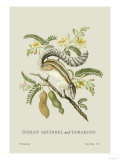 Indian Squirrel and Tamarind Posters by J. Forbes