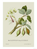 The Mahwhaw Tree of Guzerat Print by J. Forbes