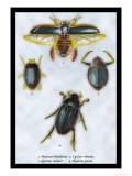 Beetles: Dytiscus Dimidiatus, Gyrinus Nalator Posters by Sir William Jardine