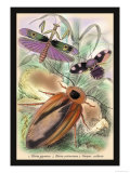 Insects: Blatta Gigantea, B. Petiveriana and Harpax Ocellaria Prints by James Duncan