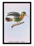 Hummingbird: Female Trochilus Ornatus Prints by Sir William Jardine