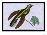 Hummingbird: Campylopterus Latipennis Posters by Sir William Jardine