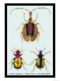 Beetles: Calosoma Sycophanta, Elaphrus Raperius Print by Sir William Jardine
