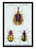 Beetles: Calosoma Sycophanta, Elaphrus Raperius Print by Sir William Jardine