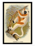 Coquerel's Sifaka Poster by G.r. Waterhouse