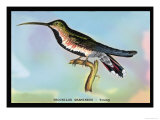 Hummingbird: Trochilus Gramineus Poster by Sir William Jardine