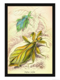 Insects: Phyllium Siccifolia Posters by James Duncan