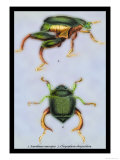 Beetles: Scarabaeus Macropus and Chrysophora Chrysochlora Prints by Sir William Jardine