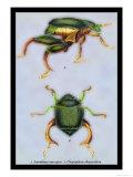 Beetles: Scarabaeus Macropus and Chrysophora Chrysochlora Prints by Sir William Jardine