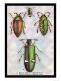 Beetles: Buprestis Chrysis B. Sternicornis Posters by Sir William Jardine