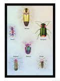 Beetles of America, Britain, Brazil, England and Europe Poster by Sir William Jardine