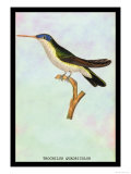 Hummingbird: Trochilus Quadricolor Poster by Sir William Jardine