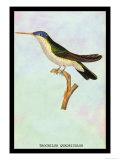 Hummingbird: Trochilus Quadricolor Poster by Sir William Jardine