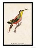 Hummingbird: Trochilus Rufigaster Posters av Sir William Jardine