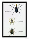 Beetles: Rhina Barbirostris, Curculio Cuvieru and C. Vittatus Posters by Sir William Jardine