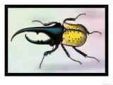 Horned Beetle Posters by Sir William Jardine
