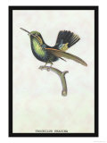 Hummingbird: Trochilus Prasina Affiches par Sir William Jardine