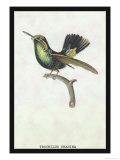 Hummingbird: Trochilus Prasina Posters av Sir William Jardine