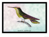 Hummingbird: Trochilus Sephanoides Poster by Sir William Jardine