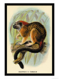 Geoffroy's Tamarin Prints by G.r. Waterhouse