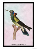 Hummingbird: Trochilus Petasphorus Affiches par Sir William Jardine