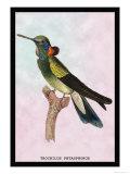 Hummingbird: Trochilus Petasphorus Posters av Sir William Jardine