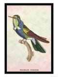 Hummingbird: Trochilus Scuataus Plakater av Sir William Jardine