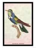 Hummingbird: Trochilus Scuataus Prints by Sir William Jardine