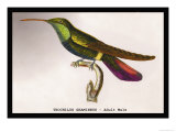 Hummingbird: Trochilus Gramineus Posters by Sir William Jardine