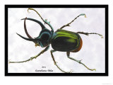 Beetle: Scarabaeus Atlas of Java Prints by Sir William Jardine