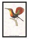 Hummingbird: Trochilus Moschitus Plakater av Sir William Jardine