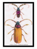 Beetles: Prianus Corticinus and Lanhonocerus Harbicarnis Prints by Sir William Jardine
