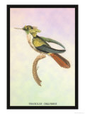 Hummingbird: Trochilus Chalybeus Prints by Sir William Jardine