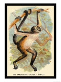 The Variegated Spider-Monkey Posters by G.r. Waterhouse