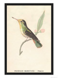 Hummingbird: Female Trochilus Magnificus Print by Sir William Jardine