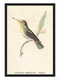 Hummingbird: Female Trochilus Magnificus Print by Sir William Jardine