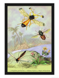 Insects: Ctenophora Pectinicornis, Tabanus Tropicus Posters by James Duncan