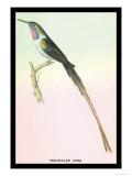 Hummingbird: Trochilus Cora Prints by Sir William Jardine