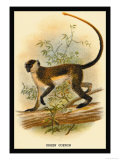Green Guenon Posters by G.r. Waterhouse