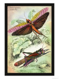 Insects: Locusta Migratoria and Locusta Dux Art by James Duncan