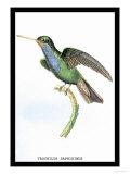 Hummingbird: Trochilus Saphirinus Poster av Sir William Jardine