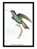 Hummingbird: Trochilus Saphirinus Premium Giclee Print by Sir William Jardine