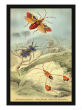 Insects: Syrtomastes Paradoxus, Cerbus Flaveobus Posters by James Duncan
