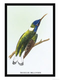 Hummingbird: Trochilus Mellivorous Prints by Sir William Jardine