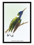 Hummingbird: Trochilus Mellivorous Prints by Sir William Jardine