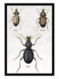 Beetles of Senegal, Britain and France Posters by Sir William Jardine