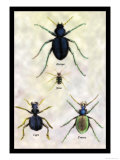 Beetles of Java, France, Cape and Europe Print by Sir William Jardine