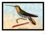 Hummingbird: Ramphodon Naevius Print by Sir William Jardine
